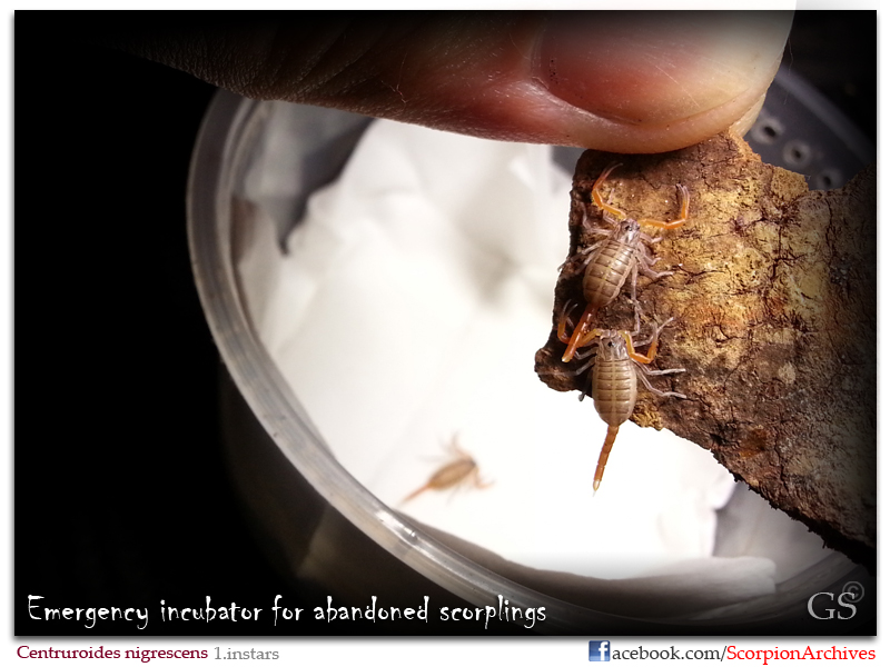 [HOW TO] Incubate 1.instar Scorpling Centruroides_nigrescens_by_GS_080413_pic3