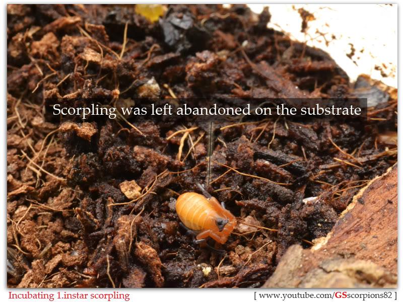 [HOW TO] Incubate 1.instar Scorpling Incubating_1instar_scorpling_by_GS_pic0