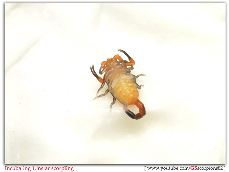 [HOW TO] Incubate 1.instar Scorpling Incubating_1instar_scorpling_by_GS_pic11