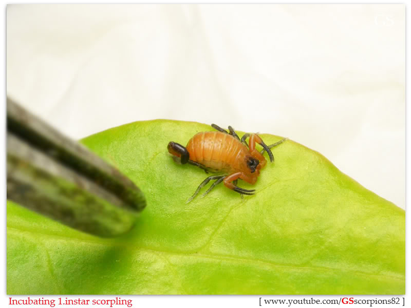 [HOW TO] Incubate 1.instar Scorpling Incubating_1instar_scorpling_by_GS_pic6