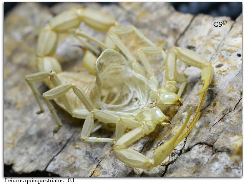 "[HOW TO]  What is ""MOLTING"" and ""PREMOLT"" in Scorpion Context Leiurus_quinquestriatus_female_by_GS_pic3"