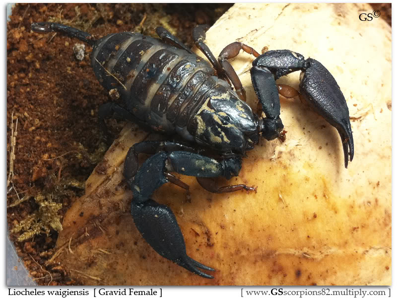 [HOW TO] Tell if your Scorpion is Gravid Liocheles_waigiensis_120711_pic1