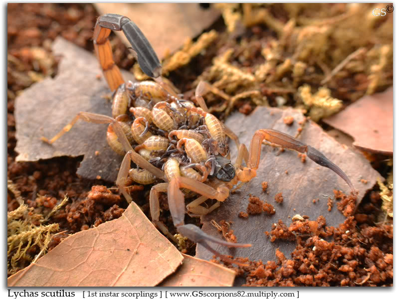 [Sharing] WHO POPPED TODAY? (Scorpion Babies!!) Lychas_scutilus_150711_pic5