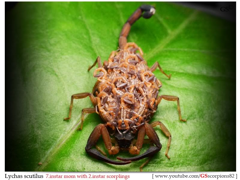 [ASA] Bark Scorpions' Caresheet Lychas_scutilus_270212_pic2