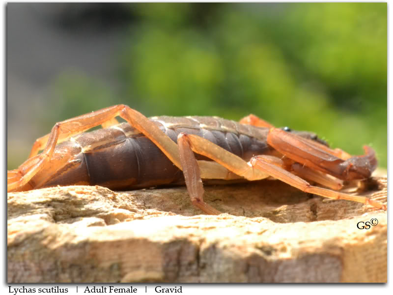 [HOW TO] Guide to Mating Scorpions Lychas_scutilus_F_by_GS_Pic6