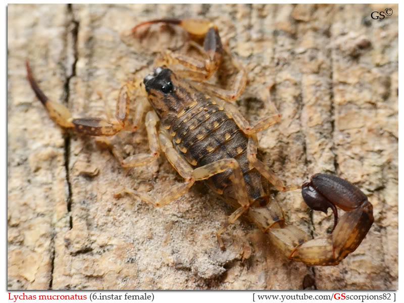 Lychas mucronatus Help Lychas_mucronatus_female_byGSscorpions82_pic1