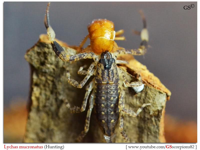 Lychas mucronatus Help Lychas_mucronatus_hunting_byGSscorpions82