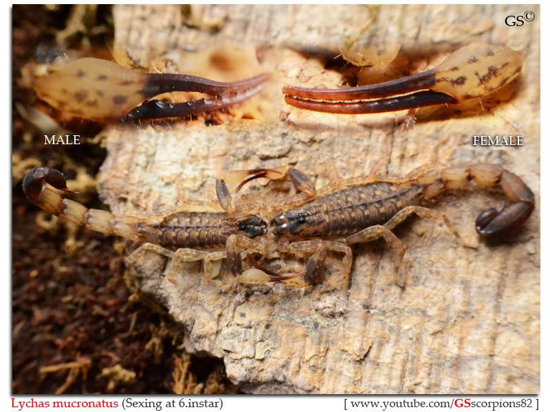 [ASA] Bark Scorpions' Caresheet Lychas_mucronatus_sexing_byGSscorpions82
