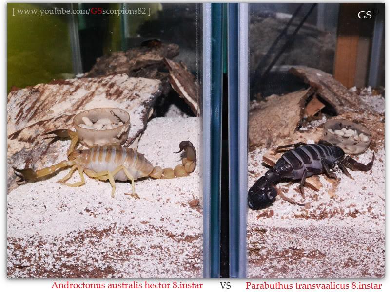 [ASA] Desert and Xeric Shrubland Scorpions' Caresheet Androctonus_australis_hector_8i_VS_Parabuthus_transvaalicus_8i_by_GSscorpions82_pic1