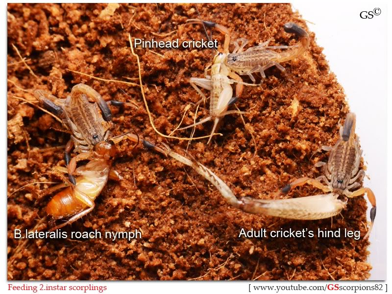 [HOW TO] Guide to Feeding Young Scorpions Feeders_for_Scorpions_by_GSscorpions82_pic9