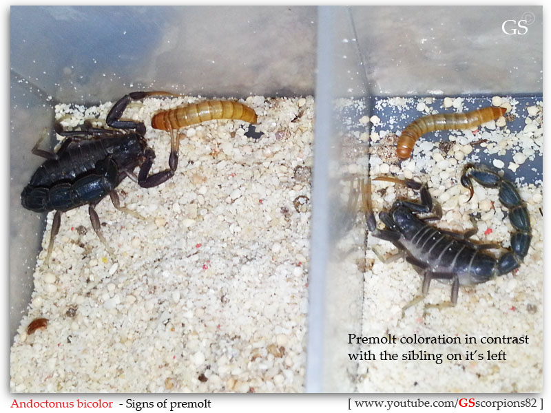 "[HOW TO]  What is ""MOLTING"" and ""PREMOLT"" in Scorpion Context GS_021212_2"