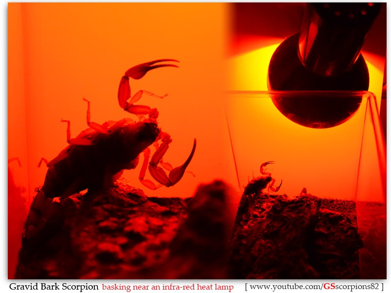 [HOW TO] Tell if your Scorpion is Gravid Gravid_Bark_Scorpion_Heat_Basking_by_GSscorpions82