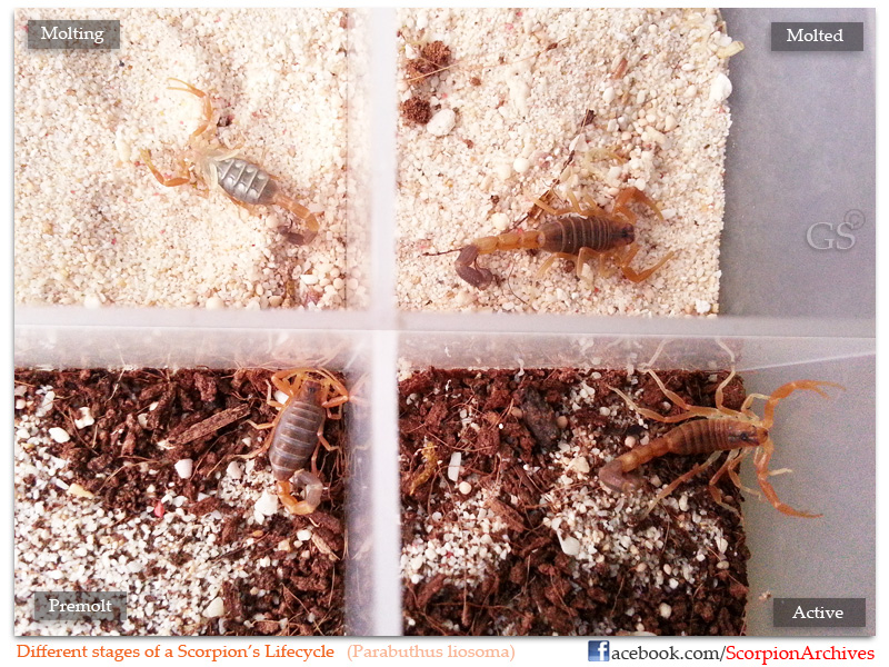 Stages of Scorpion lifecycle Stages_of_Scorpion_lifecycle_by_GS_pic1