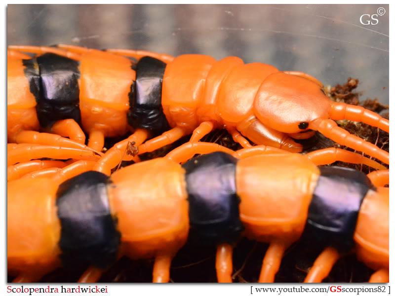 Scolopendra hardwickei Breeding Project Scolopendra_hardwickei_130312_pic14