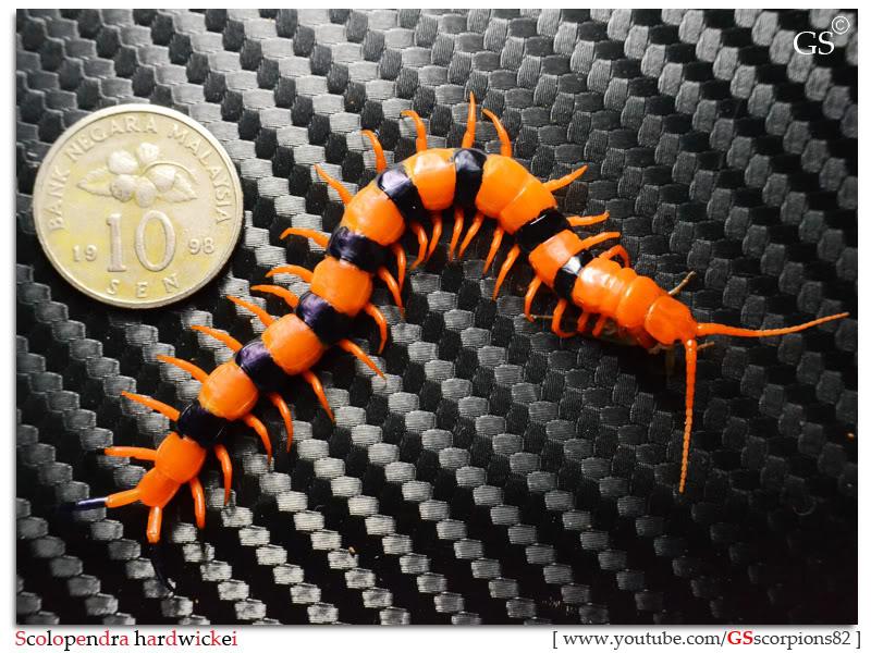 Scolopendra hardwickei Breeding Project Scolopendra_hardwickei_130312_pic2