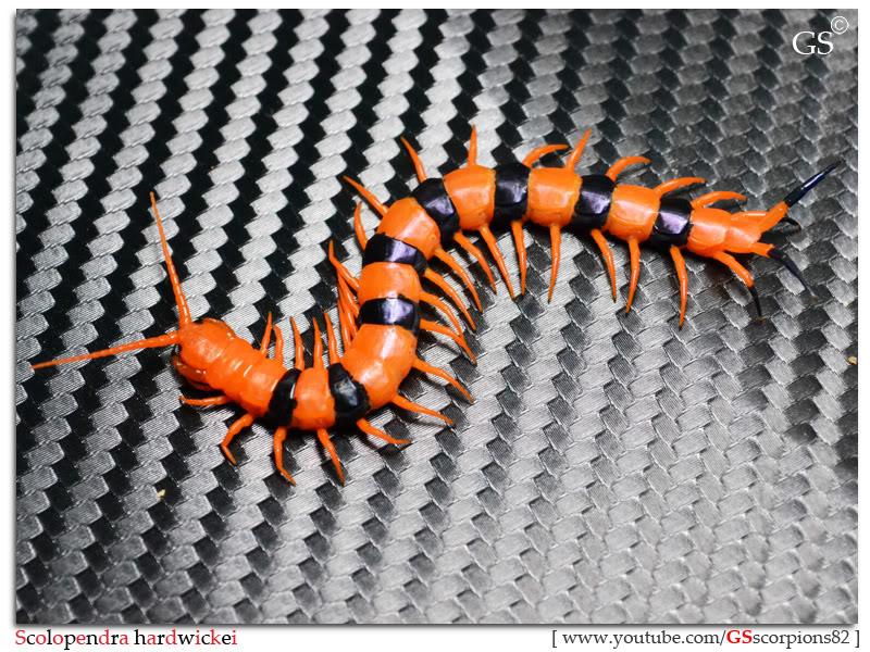 Scolopendra hardwickei Breeding Project Scolopendra_hardwickei_130312_pic3