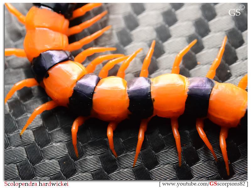 Scolopendra hardwickei Breeding Project Scolopendra_hardwickei_130312_pic4