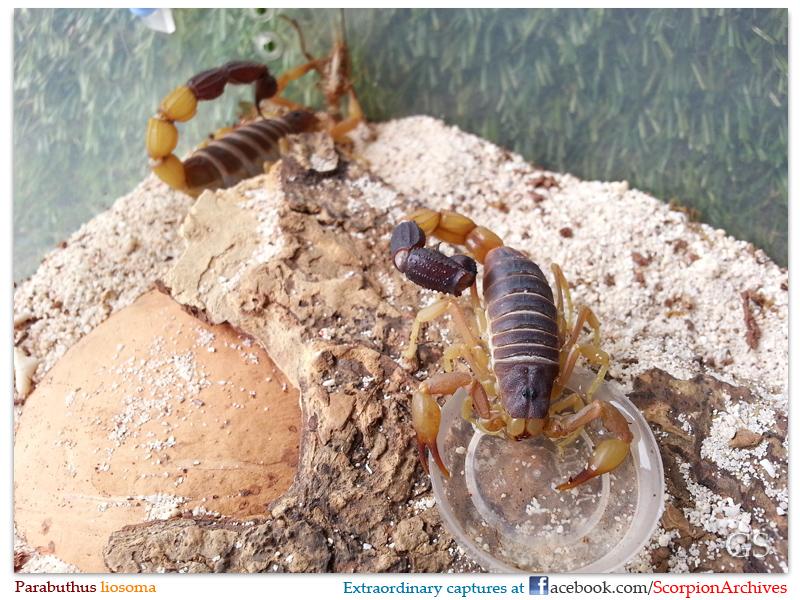 [Discussion] Parabuthus spp. - Page 2 Parabuthus_liosoma_160613_pic1