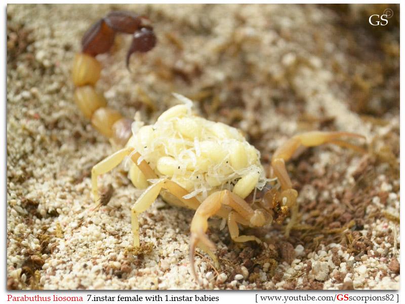 [ASA] Desert and Xeric Shrubland Scorpions' Caresheet Parabuthus_liosoma_231112_p5