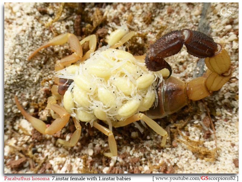 [Sharing] WHO POPPED TODAY? (Scorpion Babies!!) Parabuthus_liosoma_231112_p7