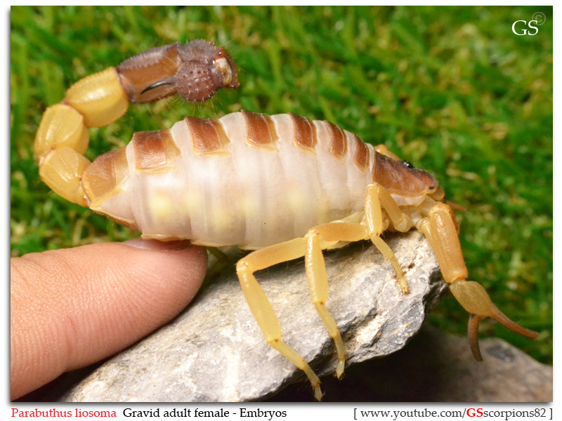 [HOW TO] Tell if your Scorpion is Gravid Parabuthus_liosoma_gravid_by_GS_pic6