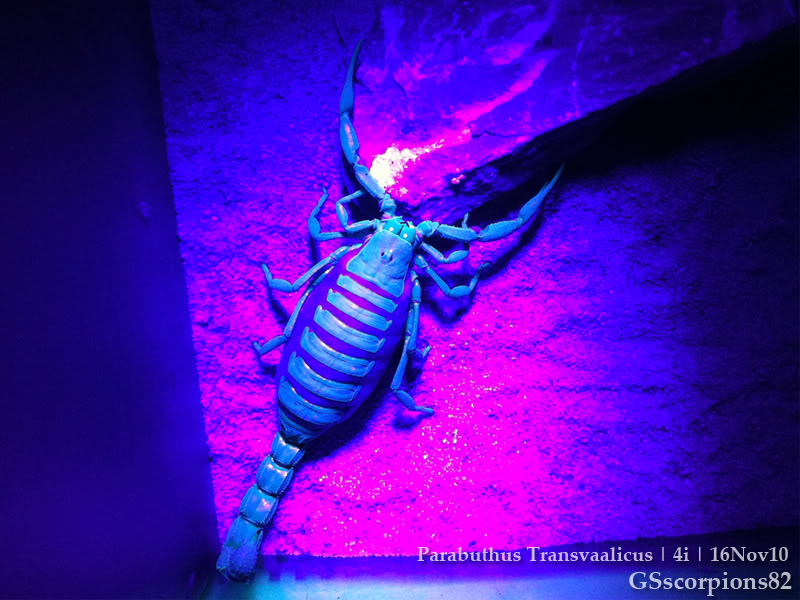 [Discussion] Parabuthus spp. - Page 2 Backlight_IMG_3139a