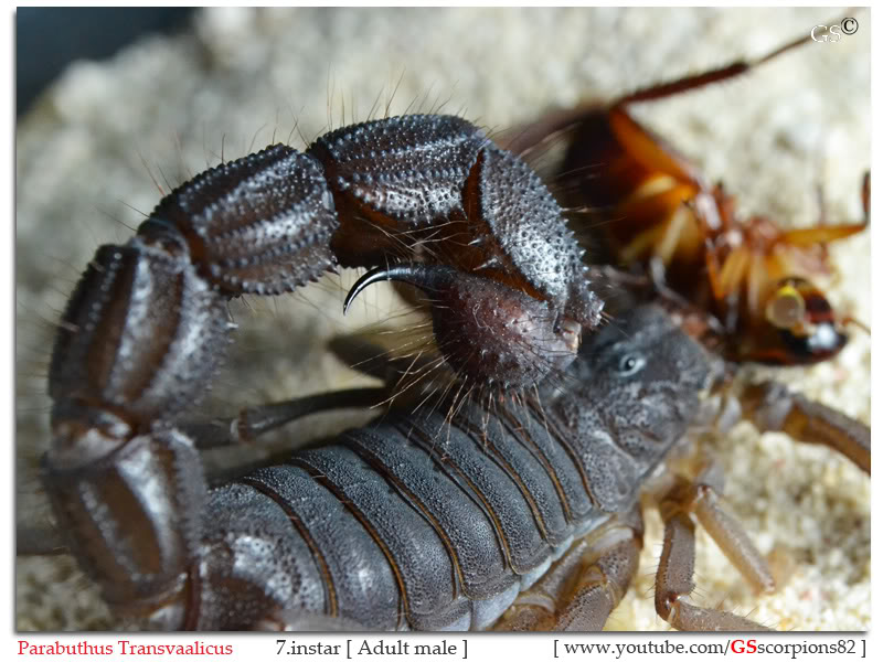 [HOW TO] Guide to Mating Scorpions Parabuthus_transvaalicus_7instar_by_GSscorpions82_311011_pic2