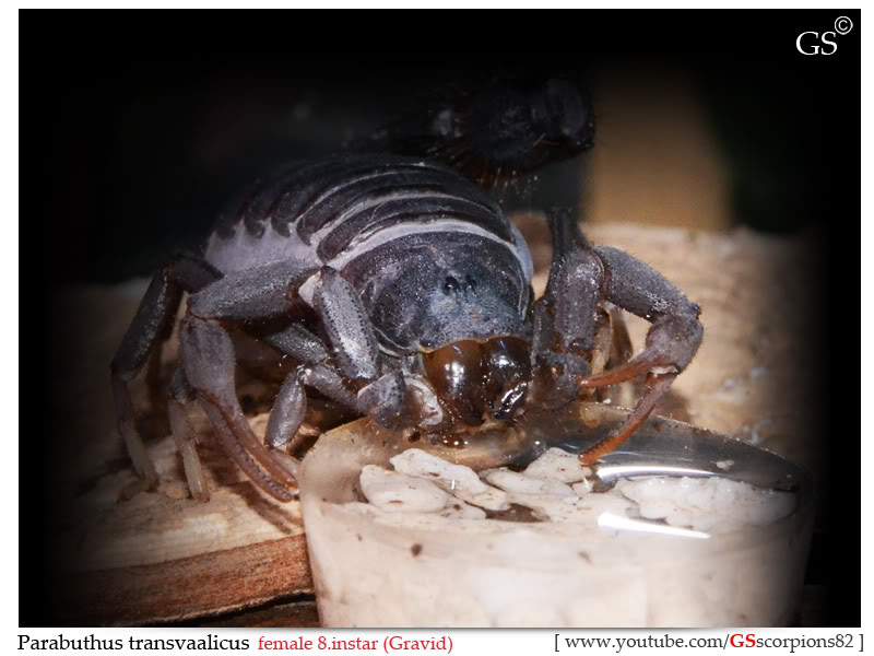 [HOW TO] Tell if your Scorpion is Gravid Parabuthus_transvaalicus_by_GS_210312_pic2