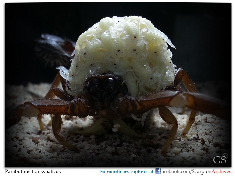 [Discussion] Parabuthus spp. - Page 2 Parabuthus_transvaalicus_by_GS_giant_brood_pic1