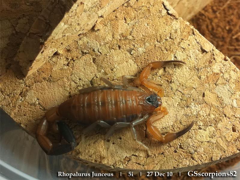 [ASA] Rhopalurus junceus caresheet RJ_5i_Pic11