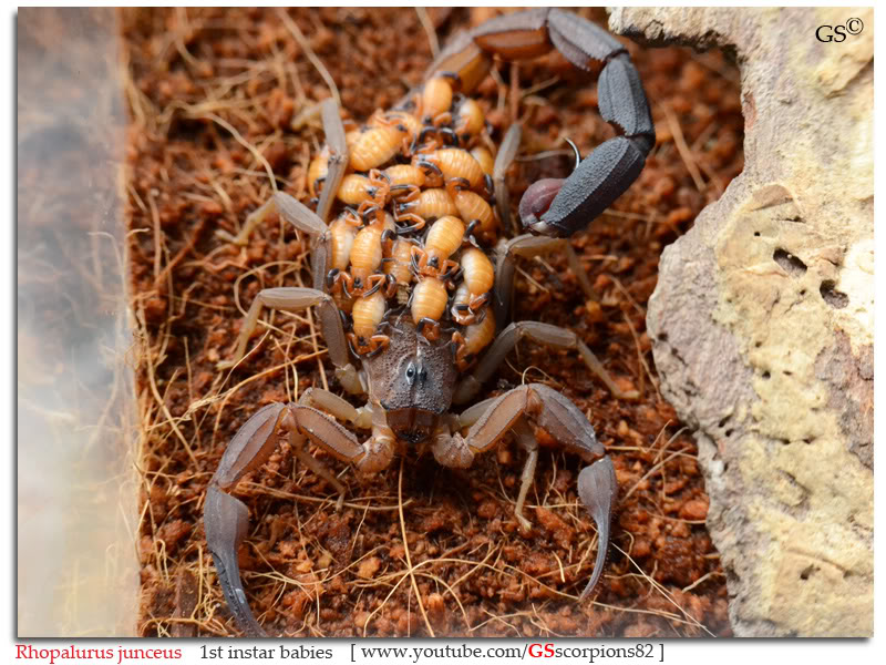 [ASA] Rhopalurus junceus Rhopalurus_junceus_1st_instars_by_GSscorpions82_pic1