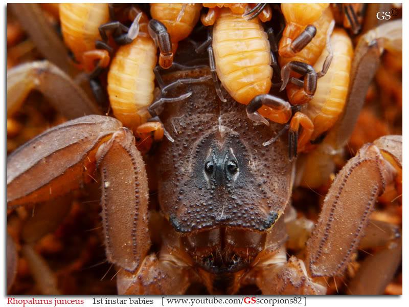 [ASA] Rhopalurus junceus caresheet Rhopalurus_junceus_1st_instars_by_GSscorpions82_pic10