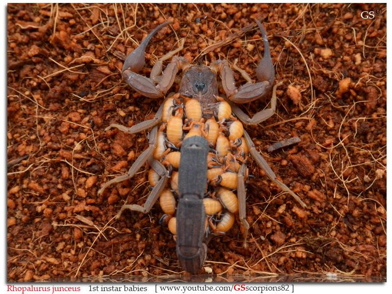 [ASA] Rhopalurus junceus Rhopalurus_junceus_1st_instars_by_GSscorpions82_pic3