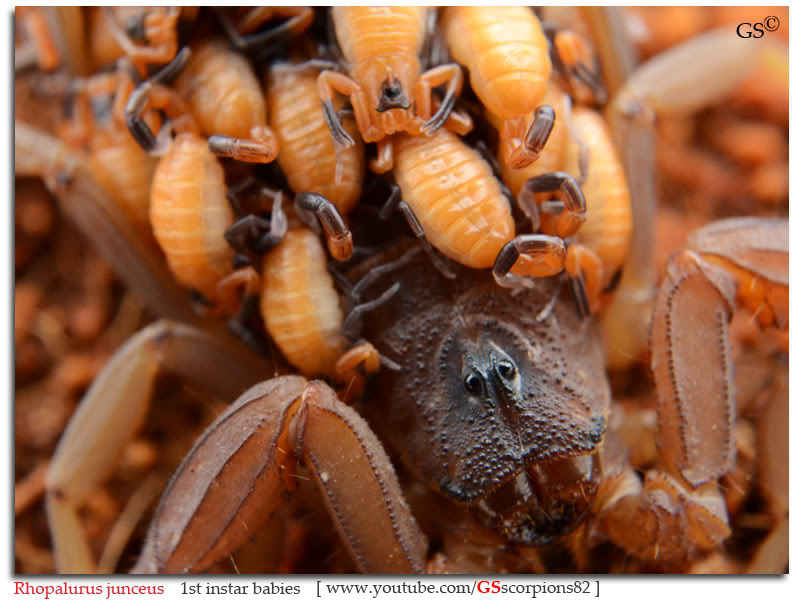 [ASA] Rhopalurus junceus Rhopalurus_junceus_1st_instars_by_GSscorpions82_pic5
