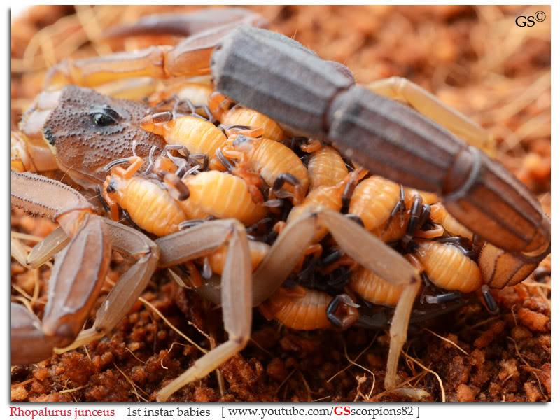 [ASA] Rhopalurus junceus Rhopalurus_junceus_1st_instars_by_GSscorpions82_pic7