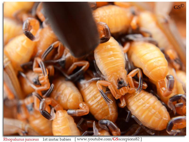 Rhopalurus junceus Rhopalurus_junceus_1st_instars_by_GSscorpions82_pic8