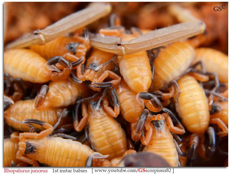 [ASA] Rhopalurus junceus Rhopalurus_junceus_1st_instars_by_GSscorpions82_pic9