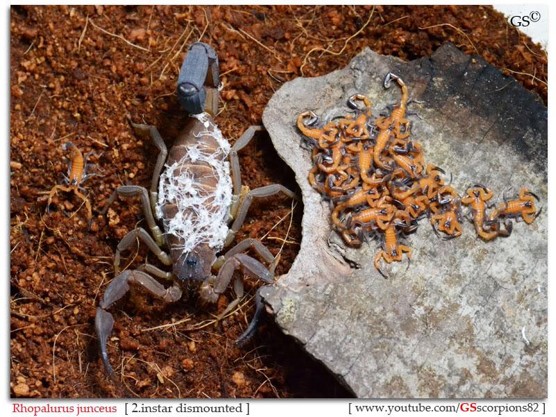 Rhopalurus junceus Rhopalurus_junceus_2i_by_GSscorpions82_161111_pic1