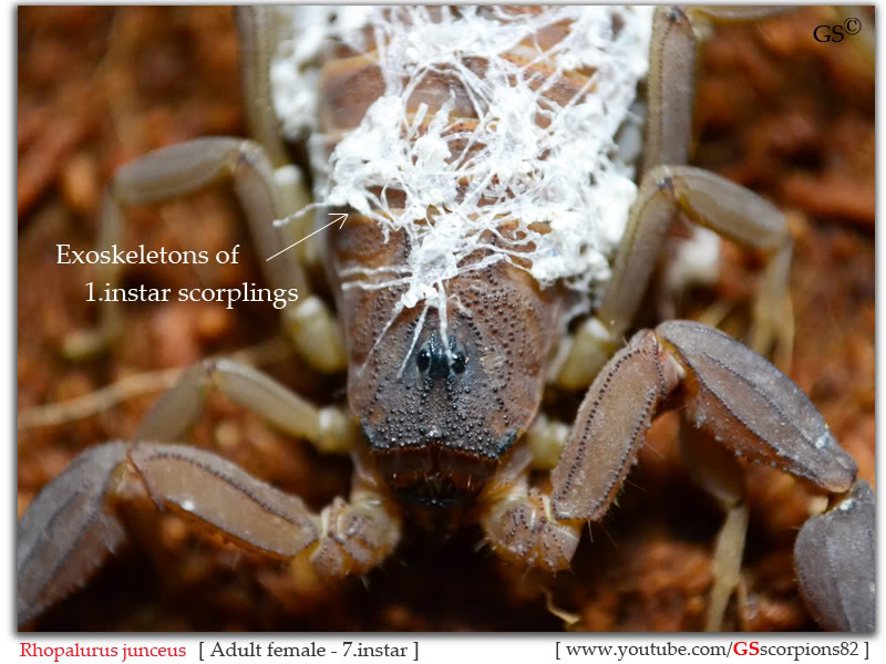 [ASA] Rhopalurus junceus - Page 2 Rhopalurus_junceus_7i_female_by_GSscorpions82_161111_pic1a