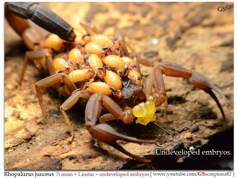 Rhopalurus junceus Rhopalurus_junceus_brood3_by_GSscorpions82_pic1