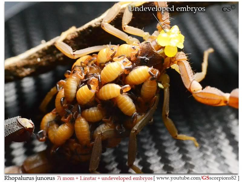 Rhopalurus junceus Rhopalurus_junceus_brood3_by_GSscorpions82_pic2