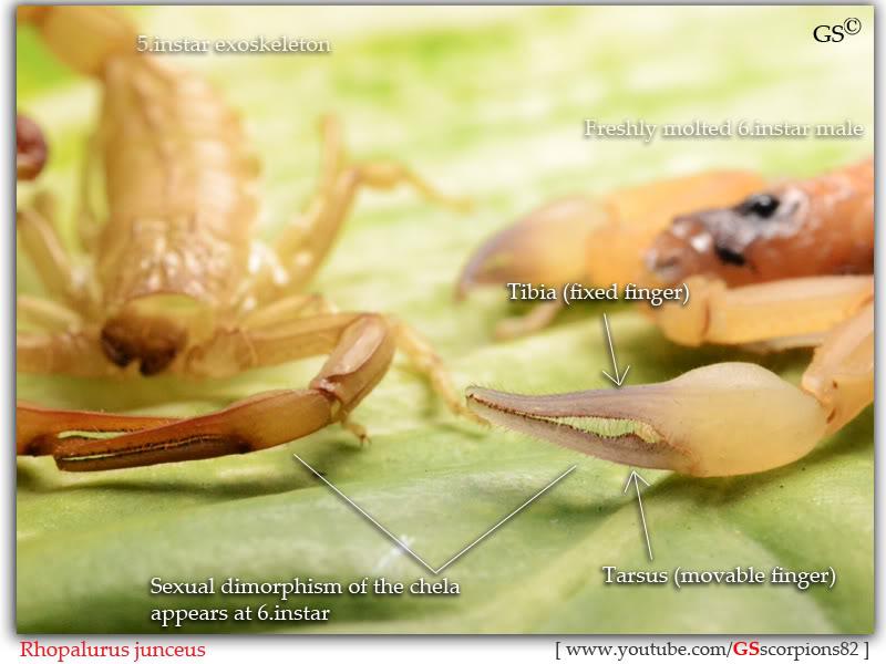 Rhopalurus junceus Rhopalurus_junceus_sexing_by_GSscorpions82_141211_pic3