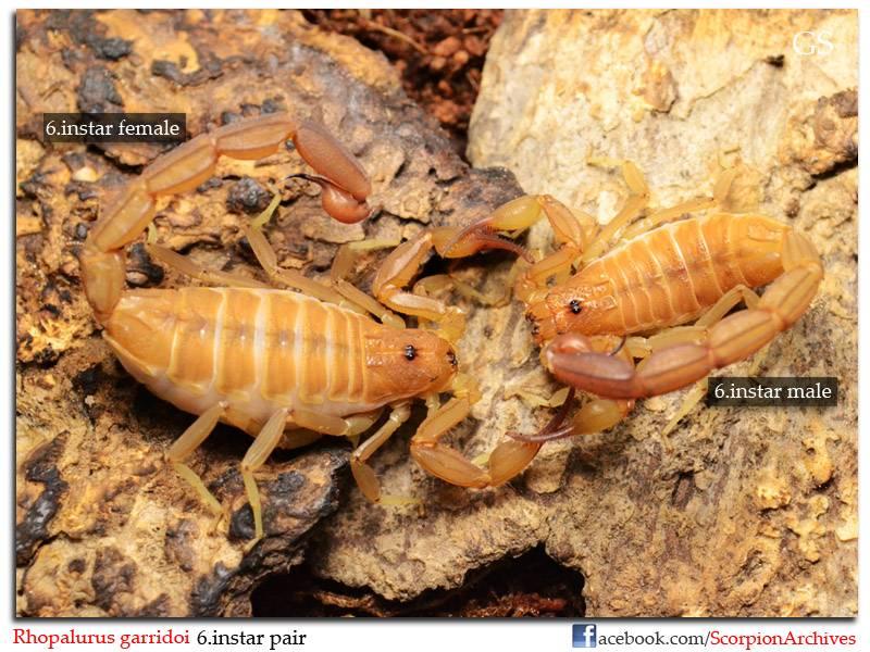 [ASA] Rhopalurus garridoi caresheet Rhopalurus_garridoi_by_GS_100213_pic13