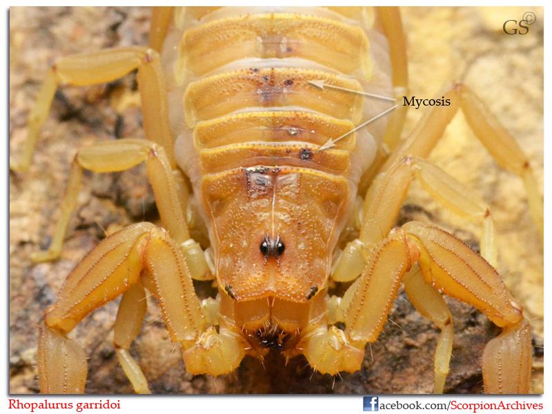 [ASA] Rhopalurus garridoi caresheet Rhopalurus_garridoi_by_GS_100213_pic2