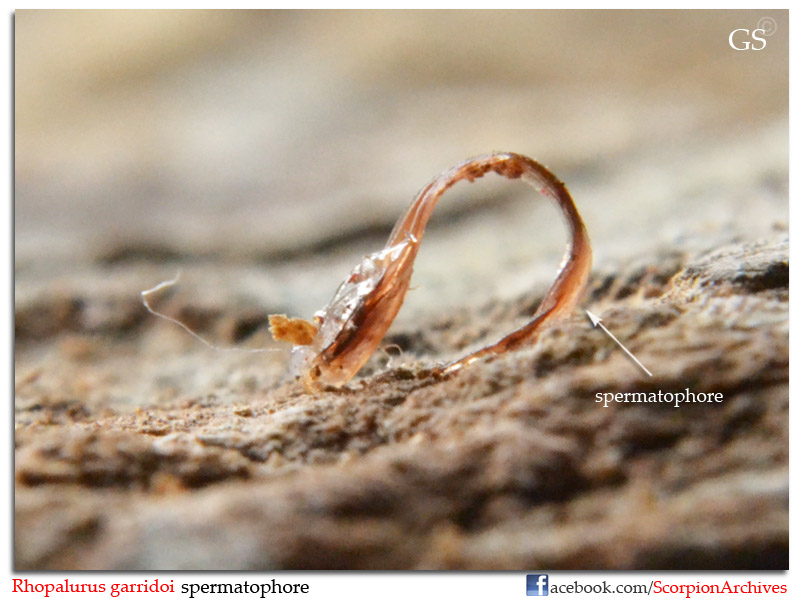 [ASA] Rhopalurus garridoi caresheet Rhopalurus_garridoi_by_GS_100213_pic9