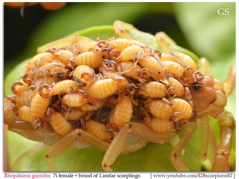 [ASA] Bark Scorpions' Caresheet Rhopalurus_garridoi_by_GS_pic19