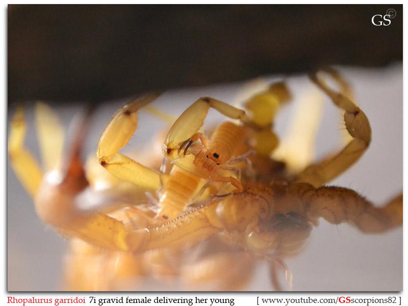[ASA] Rhopalurus garridoi caresheet Rhopalurus_garridoi_by_GS_pic6