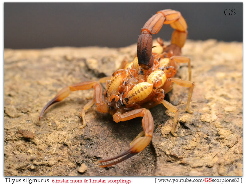 [Sharing] WHO POPPED TODAY? (Scorpion Babies!!) Tityus_stigmurus_040412_by_GS_pic1