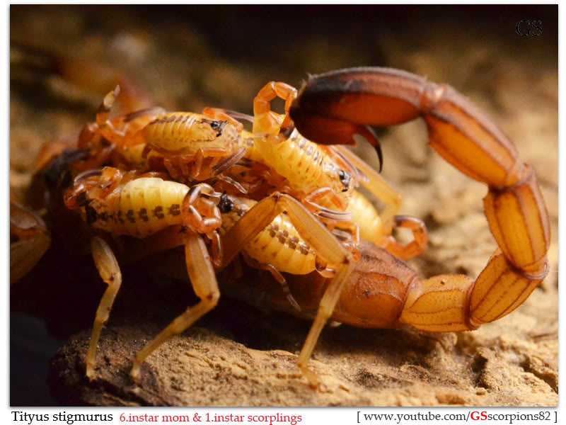 [Sharing] WHO POPPED TODAY? (Scorpion Babies!!) Tityus_stigmurus_040412_by_GS_pic5