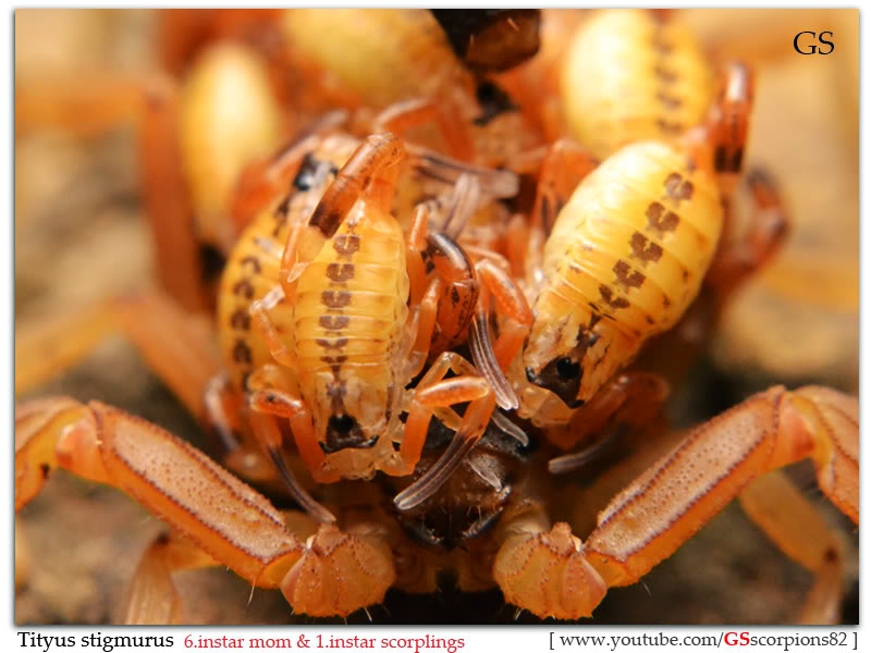 [Sharing] WHO POPPED TODAY? (Scorpion Babies!!) Tityus_stigmurus_040412_by_GS_pic7